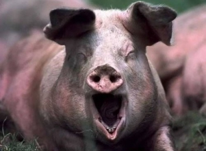Премікси для свиней: ціна, на яку ви розраховували