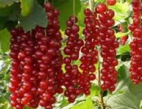 Красная смородина Ровада. Лучший сорт для прекрасного урожая!