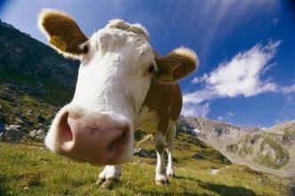 Премікси для корів: є сертифікати якості
