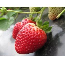 Саженцы клубники Альбион: качество за умеренную цену