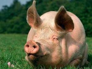 Біодобавки для свиней від виробника