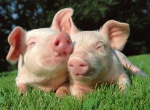 Купити премікси для свиней