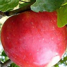 Найкращі плодові саджанці для ваших потреб