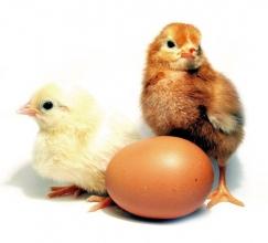 Разрабатываем и производим кормовые добавки для птицы