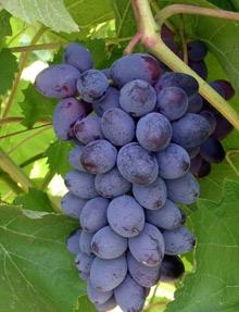 Виноград Юпитер США: саженцы по низкой цене