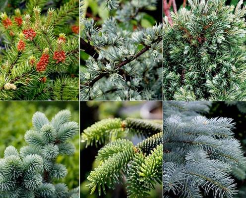 Хвойні рослини за низькими цінами