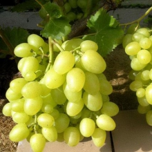 Продається оптом виноград (сорт Аркадія). Саджанці за найкращою ціною!
