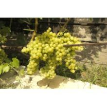 Саджанці винограду: ціна, яка сподобається