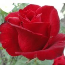 Продаж саджанців троянд здійснюється тут