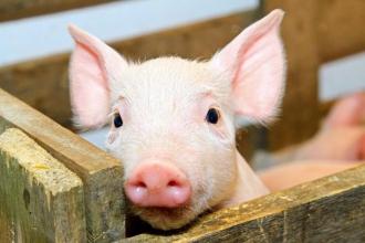Кормові добавки для свиней