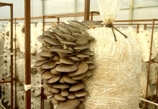 Мицелий вешенки, мицелий шампиньонов, грибные блоки Neotex