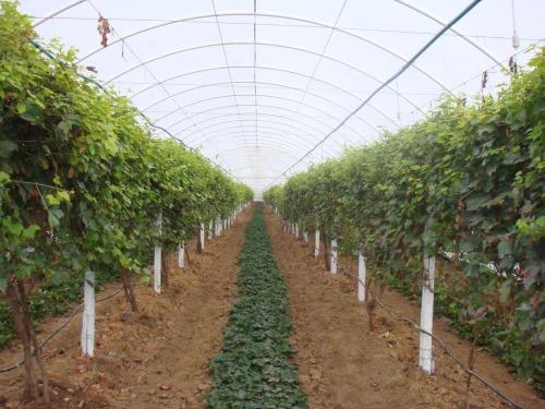 Виноград в теплице технология выращивания 741