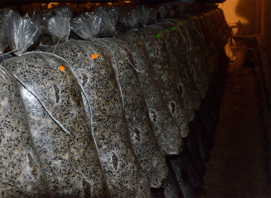 Выращивание вешенки в грибных блоках 52