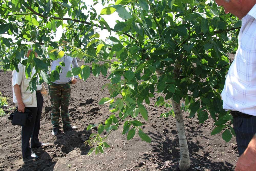 Выращивание на даче фундука