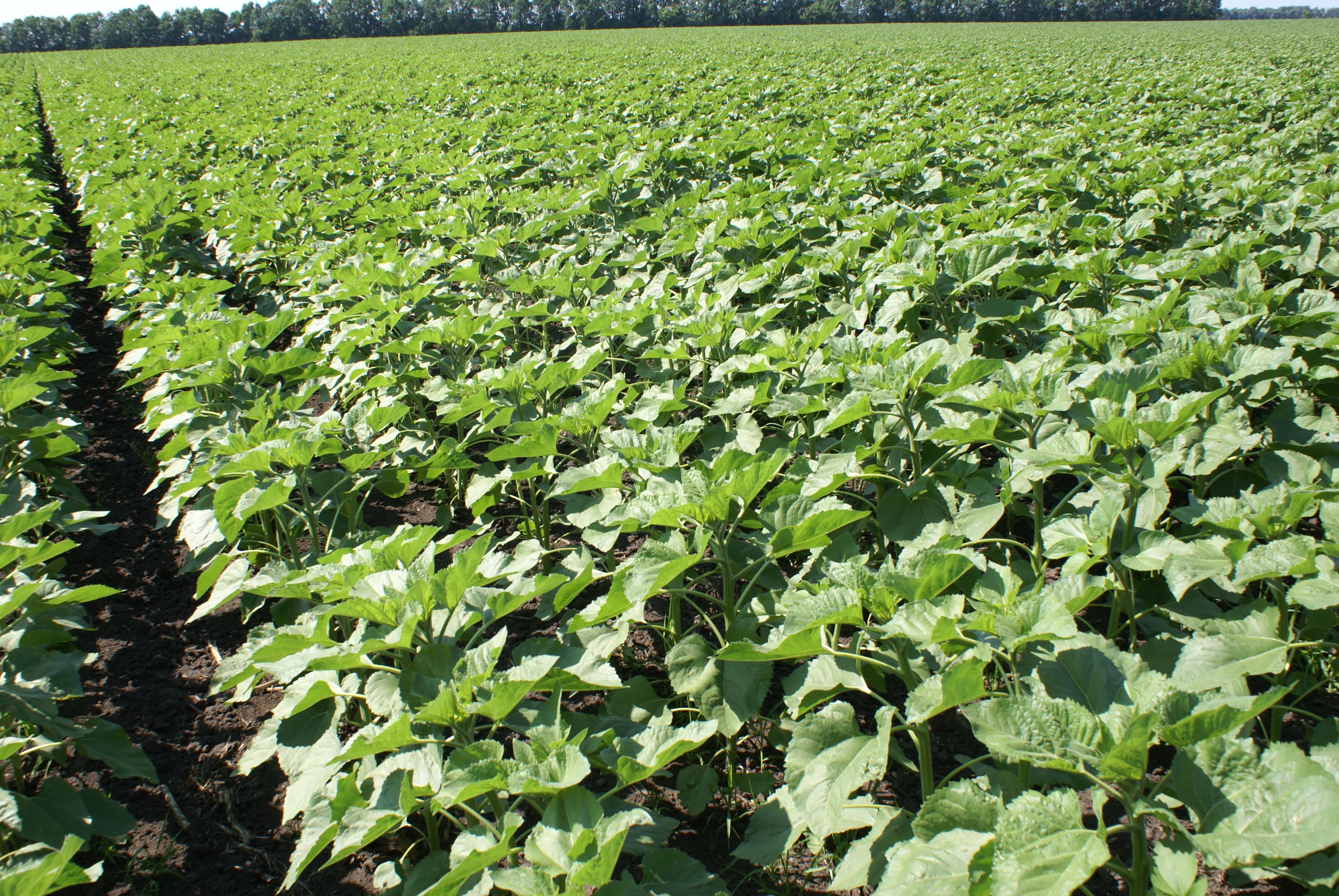Выращивание подсолнечника в условиях дачного участка Дача 69