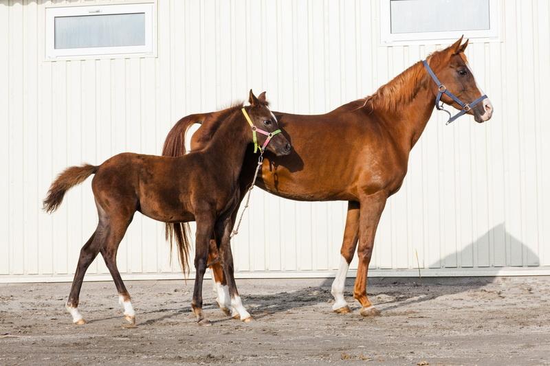 арабские лошади фото и описание