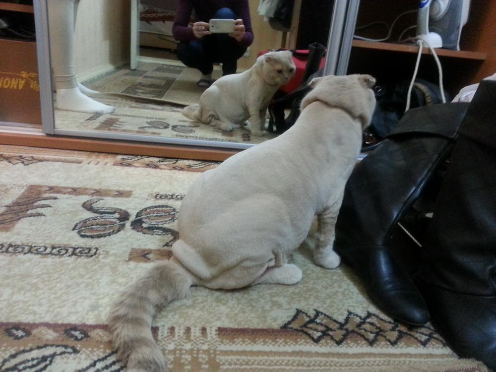 стрижка шотландских котов фото