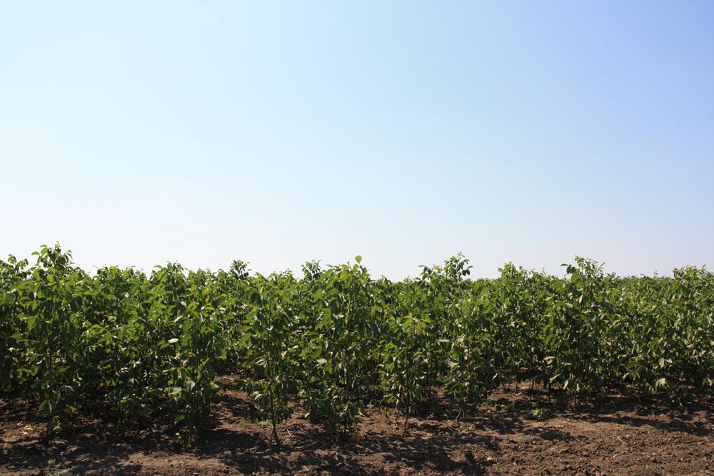 Технология выращивания ореха грецкого в украине 88