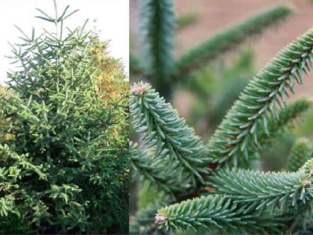 Abies Pinsapo Kelleris товари сакурасад імпорт рослин барбарис