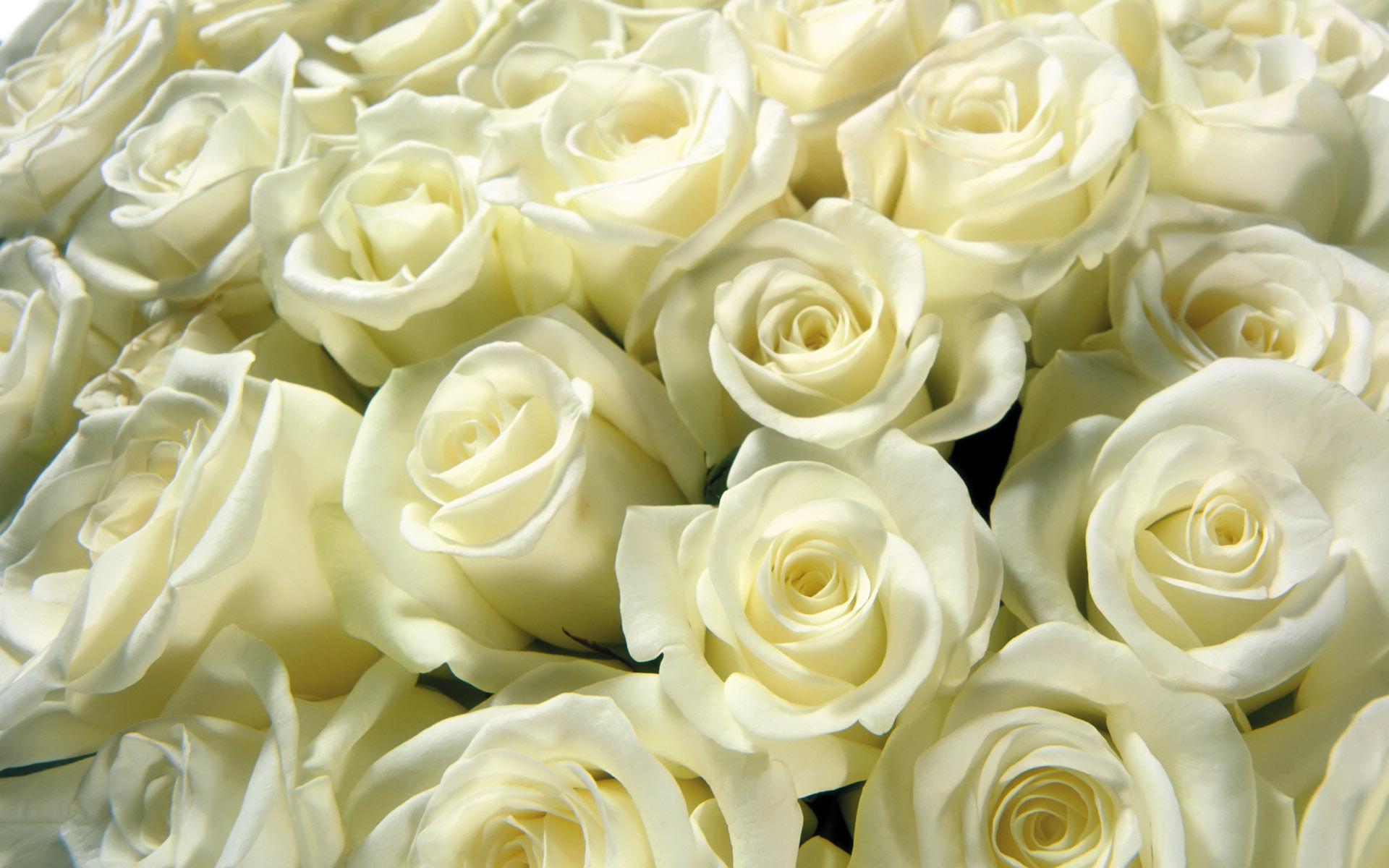 Картинки по запросу троянди білі