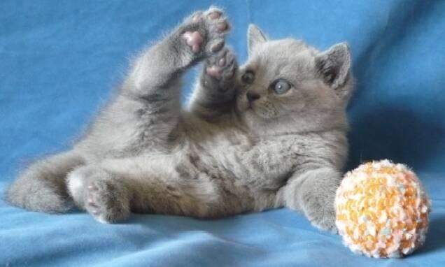 Кішкотерапiя з кошенятами британцями блакитними