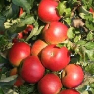 Оптовая продажа яблок сорта Айдаред