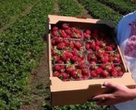 Требуются работники для сбора ягод