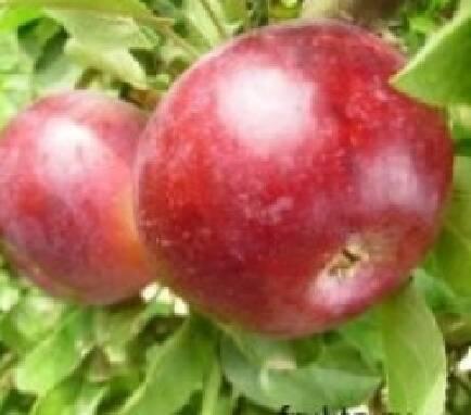Пропонуємо купити оптом зимові яблука (Україна)