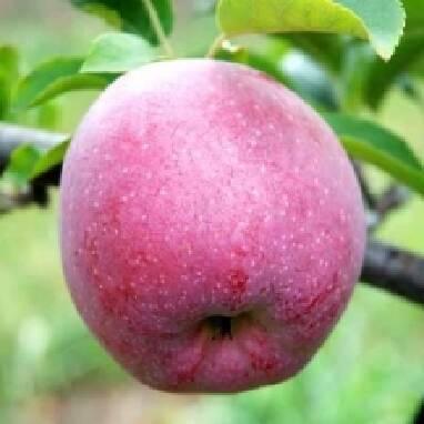 Купить яблоки Флорина оптом в Украине