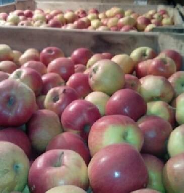 Продаж яблук в Україні без посередників