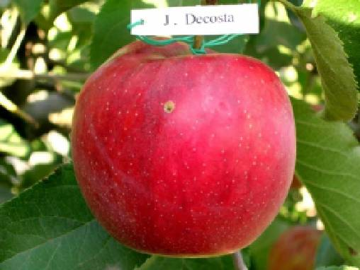 Яблоки Джонаголд оптом (Винницкая область)