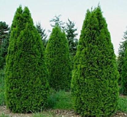 Декоративные хвойные деревья и кустарники- доступные цены!