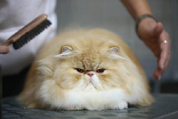 Стрижка перського кота можлива у нас!