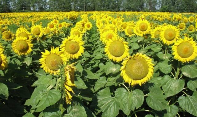 Семена подсолнечника купить оптом в Одессе