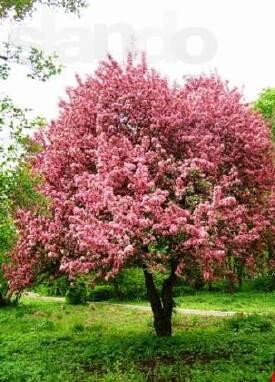 Купить саженцы райской яблони можно у нас!