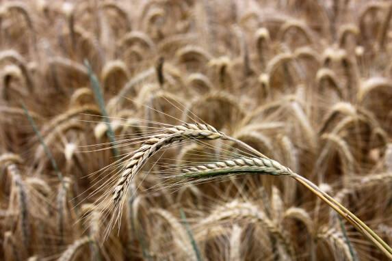 Зерно жита купити у Харкові