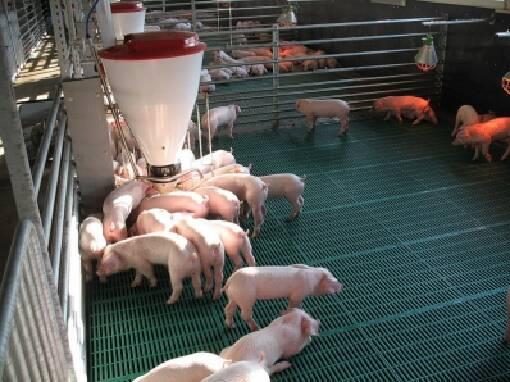 Селекционер предлагает продажу свиней живым весом
