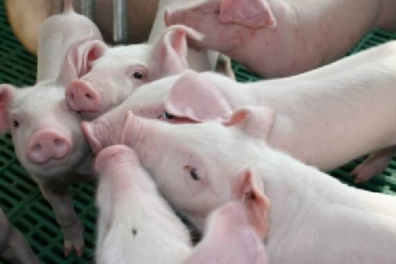 Скористайтеся послугою продаж свиней живою вагою!