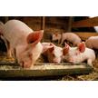 Комбікорм для свиней (ріст)