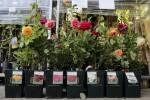 Пропонуємо купити саджанці троянд