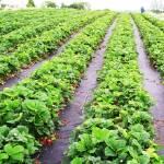 Пропонуємо купити агроволокно для полуниці