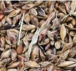 Нужны семена суданки? Покупайте у нас