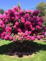 Декоративні дерева для саду: гарантія на приживлюваність!