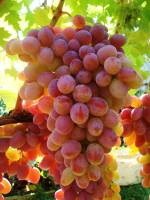 Виноград интернет-магазин