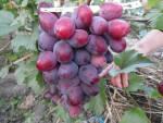 Виноград інтернет-магазин. Живці винограду Еверест