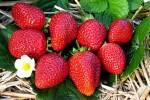 Купити садженці полуниці «Альбіон» оптом!