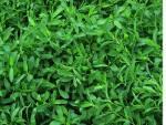 Сорти газонної трави в наявності