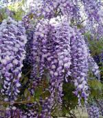 Питомники растений Украина: вьющиеся растения купить недорого