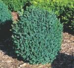Декоративные кустарники каталог: купить растения недорого