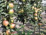 Колоноподібні плодові дерева купитиоптом з розплідника